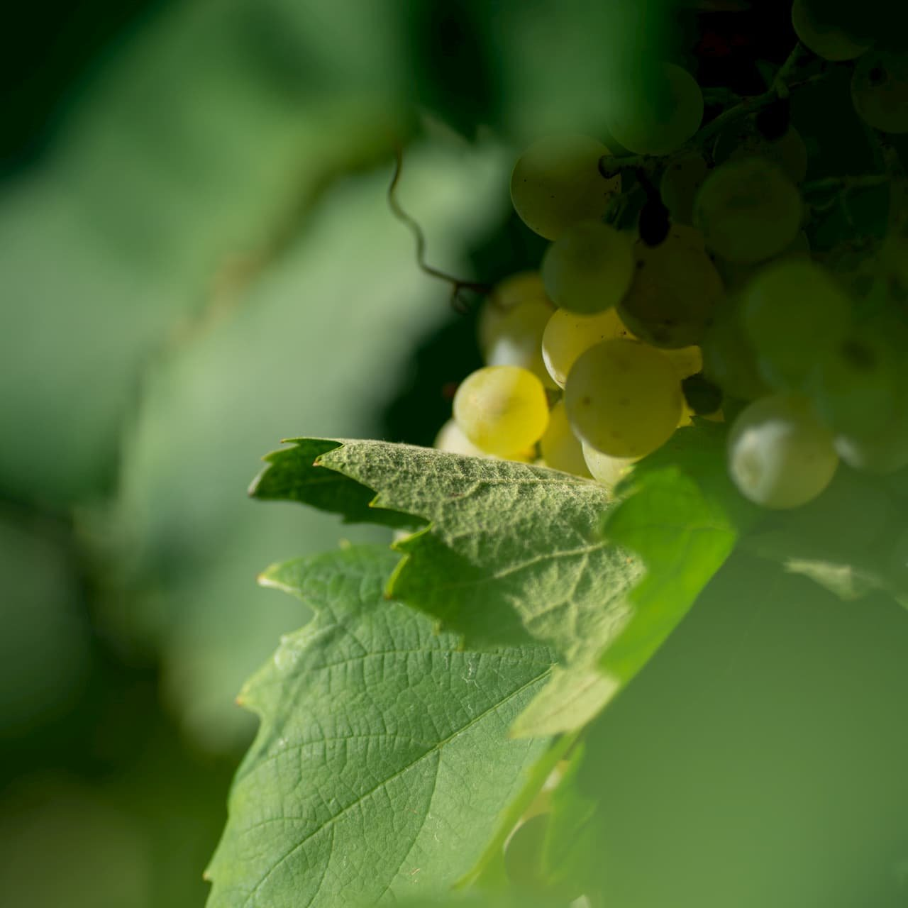 CANTINE RIONDO uva